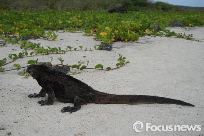 갈라파고스 제도에서만 생존하는 바다이구아나가 해안가를 산책하고 있다. 도마뱀 중 유일하게 바다에서 위장하고, 생존할 수 있는 능력을 가진 바다 파충류이다  - <사진제공=전수경> 2016.03.15 포커스포토 photo@focus.kr 제공